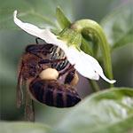 Honigbiene auf Jalapeno-Blüte