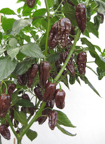 Chocolate Bhut (PW Testanbau)