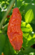 Bhut Jolokia