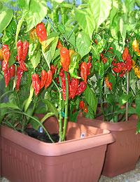 Bhut Jolokia Pflanze