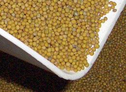 Weißer (gelber) Senf