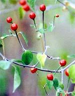 Frische Chilitepin-Beeren