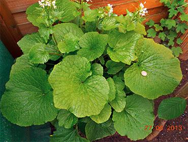 Wasabi-Pflanze von Mario Braun