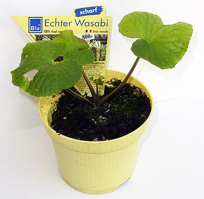 Wasabi pflanze