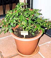 Chili-Pflanze (Algerien)