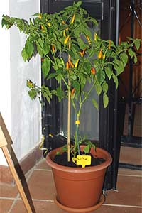 Chili-Pflanze (Zypern)