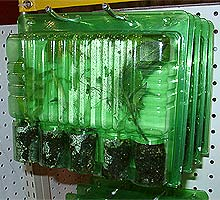 """Chile plants in plastic """"clamshell"""" containers"""