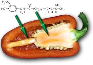 Die chemische Zusammensetzung von Capsaicin in Chilis