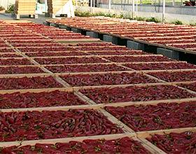 Espelette-Chilis auf Trockenböden